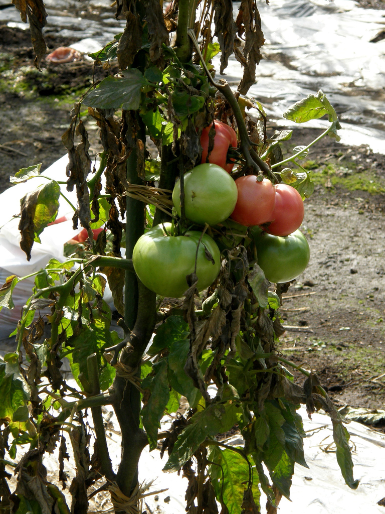 Growing tomatoes in pots is one way to enjoy fresh tomatoes, even if you've never gardened before! Fresh tomatoes are becoming more expensive in stores, at farmer's markets, and vegetable stands.