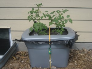 TomatoGrowingTips.org - tomato container garden - FL Mike Rohde